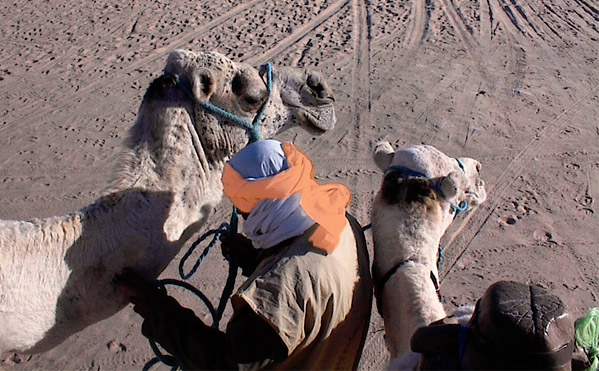 Arab man tends to camel