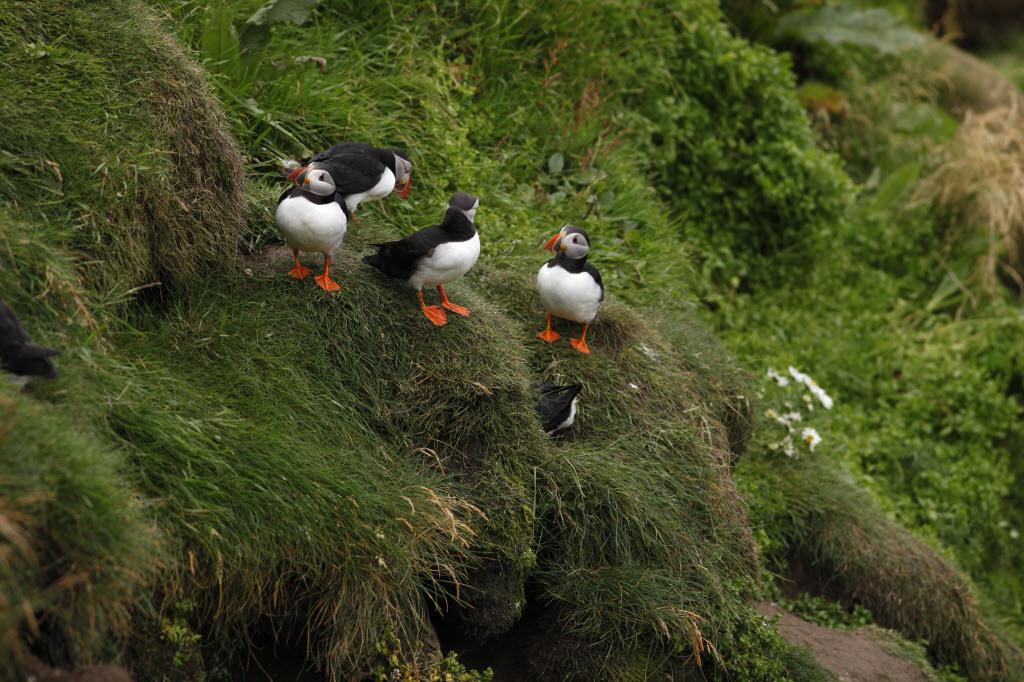 Puffins at Sumburgh Head, Mainland, Shetland
