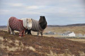 shetland-ponies-cardigans-thumb