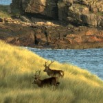Red Deer on the Isle of Rum