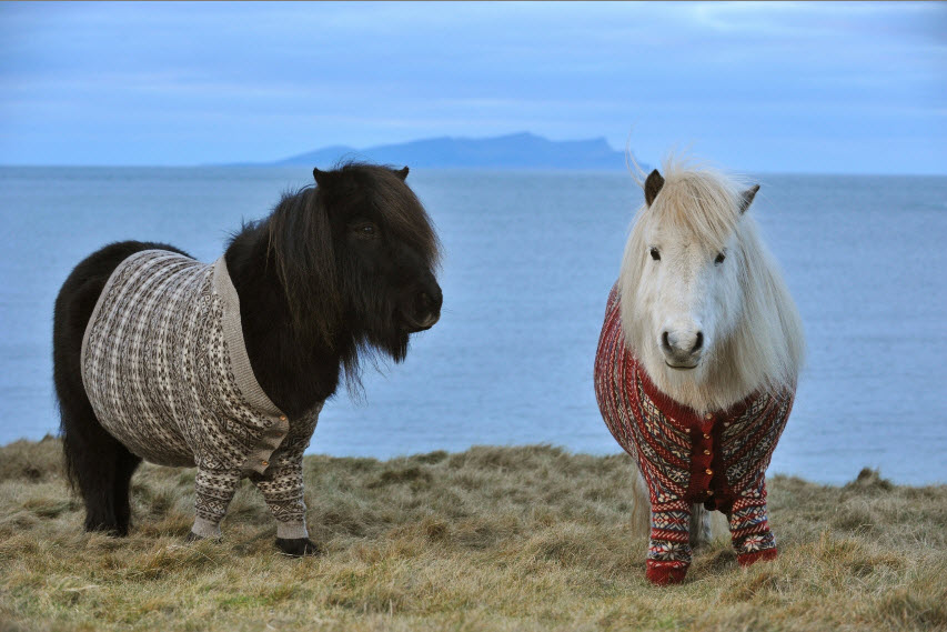 http://www.visitscotland.com/blog/wp-content/uploads/2013/02/shetland-ponies-cardigans.jpg