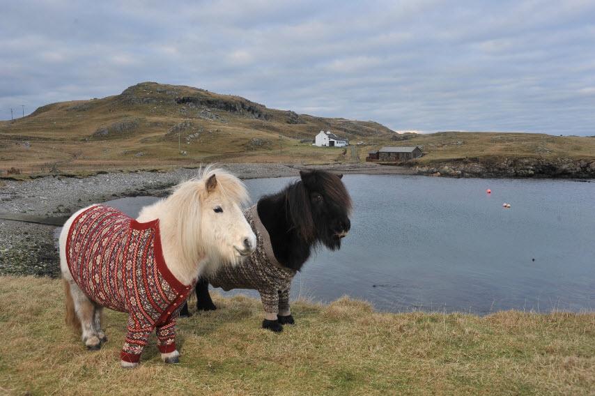 http://www.visitscotland.com/blog/wp-content/uploads/2013/02/shetland-ponies-cardigans2.jpg