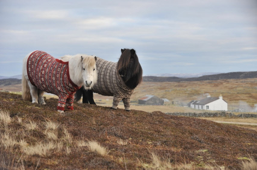 Shetland Ponies in Cardigans, Photos & Video - VisitScotland
