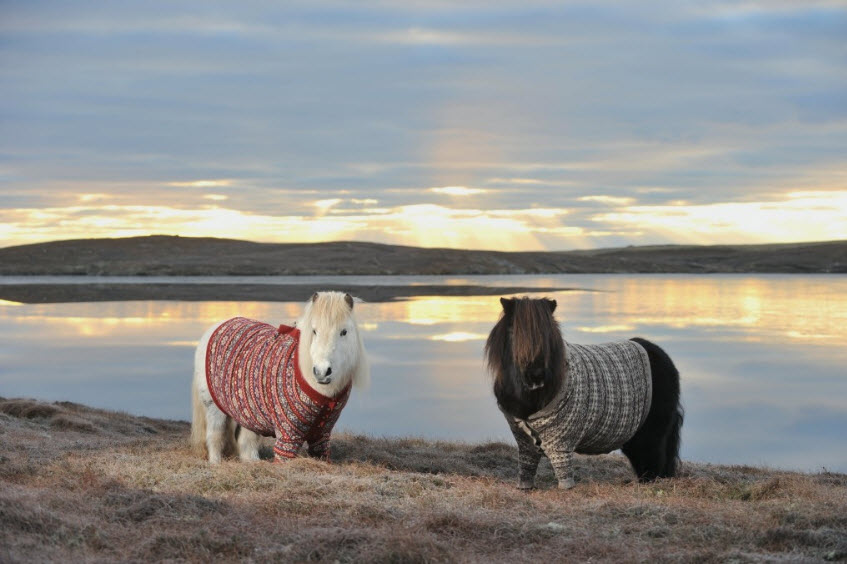 Two Shetland ponies in a cardigan with a loch behind.