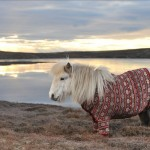 Shetland Ponies in Cardigans Images
