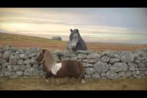 Shetland Ponies: Now with added dancing