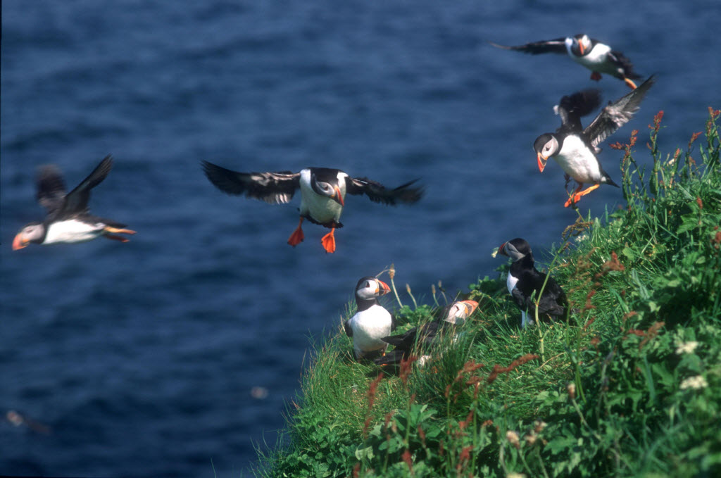 Puffins on a clifftop, Isle of Staffa, Outer Hebrides