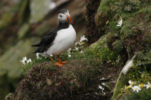 A puffin at Sumburgh Head, Shetland