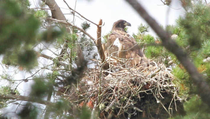 The nest of the new white-tailed eagle chick in the east of Scotland © Ian Francis RSPB Scotland