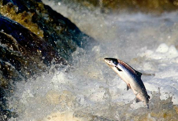 A leaping salmon at the Falls of Shin in the Highlands