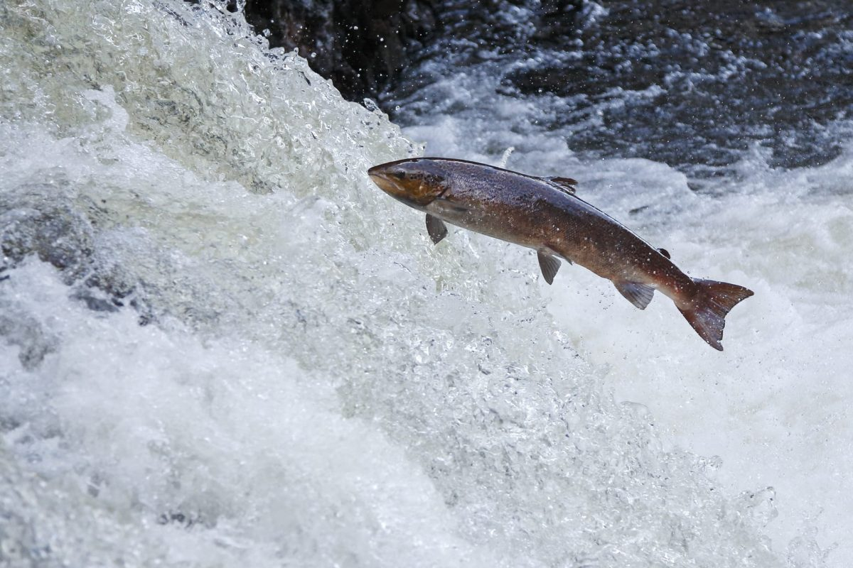 Atlantic Salmon © Neil MacIntyre