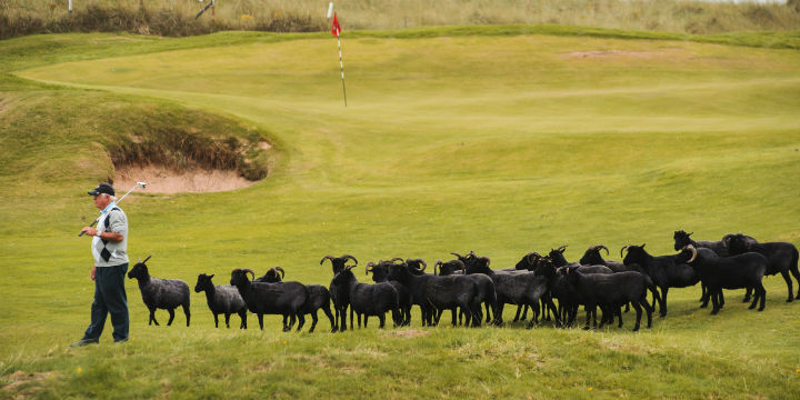 Black sheep at Machrihanish Dunes