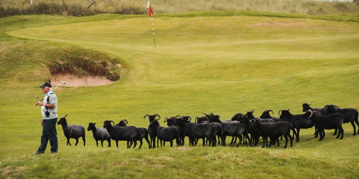 Black sheep at Machrihanish Dunes