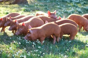 a line of pigs stand amongst a field of snowdrops.