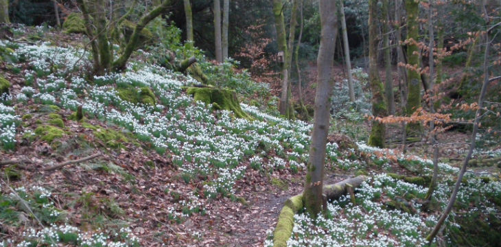 A winding woodland path with a snowdrop bank.