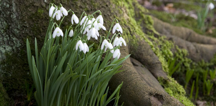 A cluster of snowdrops nestles in the roots of a tree.