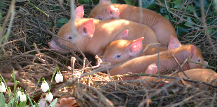 piglets sit together in a clearing with snowdrops in the foreground