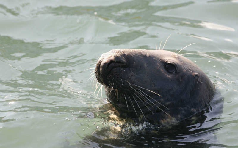 A seal in Lerwick Harbour, Mainland, Shetland