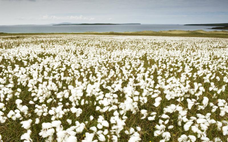 Bog cotton at Eday, Orkney