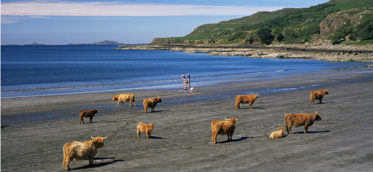 Highland cattle on the beach by Loch Tuath