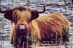 Highland Cow by @weencentt