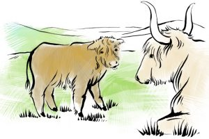 An illustration of a Highland calf and cow.
