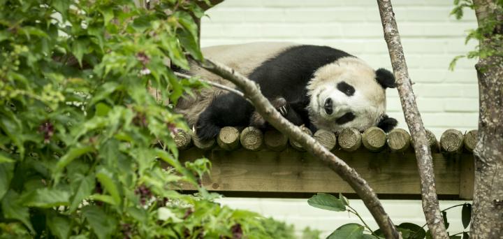 Tian Tian, the female giant panda at Edinburgh Zoo