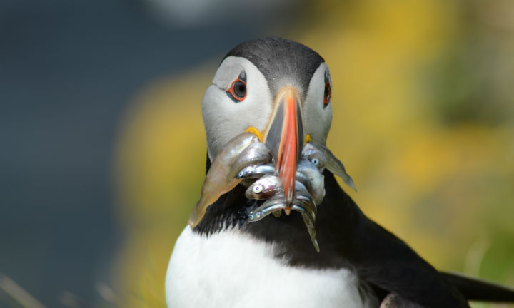 A puffin with a beak full of fish