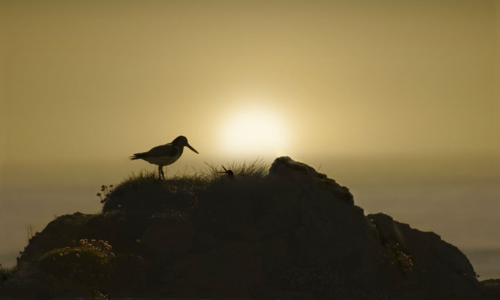 An oystercatcher with her chicks at sunset