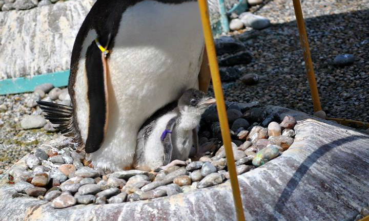 Gentoo penguin with her chick at Edinburgh Zoo