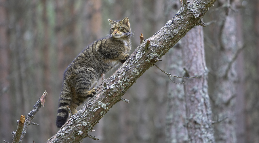 Scottish wildcat climbing a tree in the Cairngorms National Park