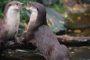 Otters Photo credit; Destination Dumfries & Galloway/Colin Tennant Photography