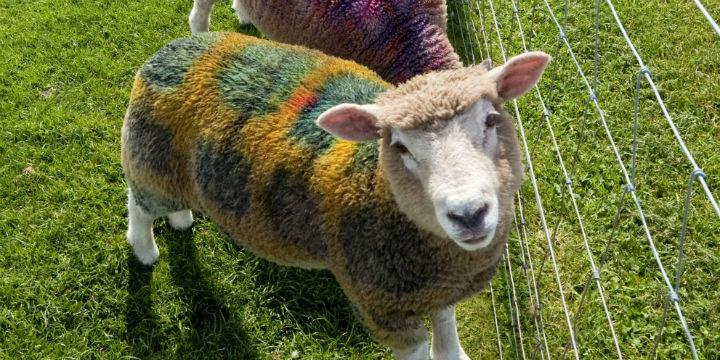 Tartan sheep at East Links Family Park