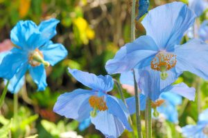 A close-up of some blue poppies.