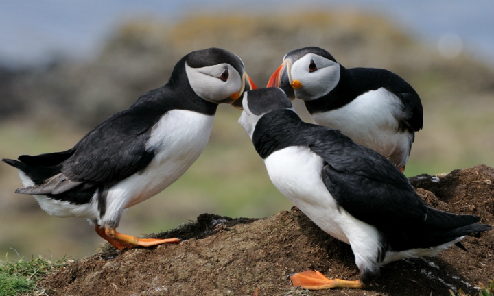 Puffins 'dancing' on the Isle of Lunga, Argyll and the Isles, Scotland. Credit: Allan Simpson.