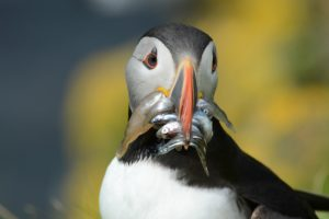 Puffin with fish on Lunga off Mull, Argyll & The Isles, Scotland. Credit: Fiona Herd.