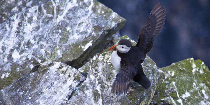 Puffins on the Pentland Skerries - a group of inhabitated islands south of South Ronaldsay