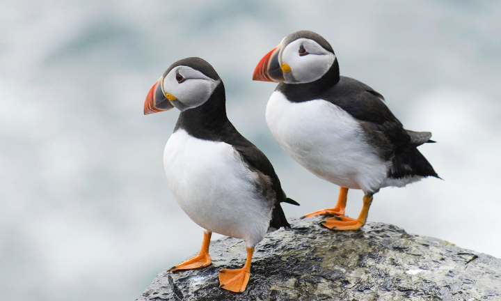 A pair of puffins on the rocky shores of Papay (Isle of Papa), Orkney, Scotland
