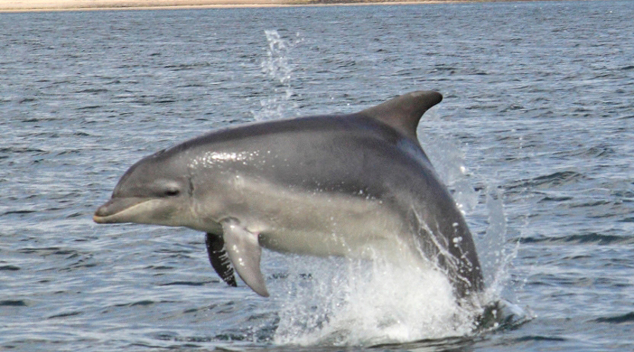 Moray Firth dolphin