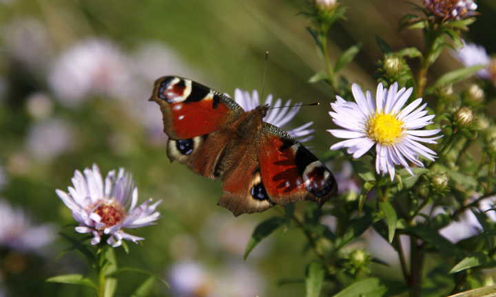A peacock butterfly on wild flowers