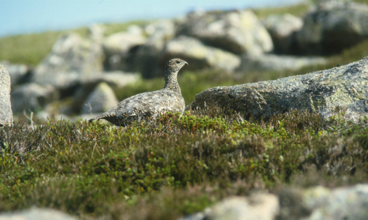 A female black grouse
