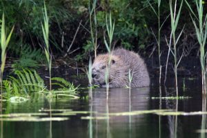 Beaver, Knapdale. © Mike Rae / The Scottish Wildlife Trust