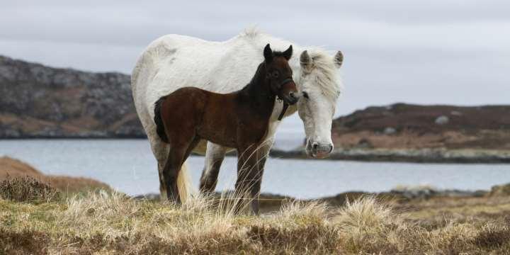 Eriskay Ponies near Lochboisdale, South Uist