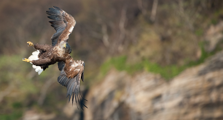 White-tailed eagle © Will Nicholls / Year of Creative Photo Competition