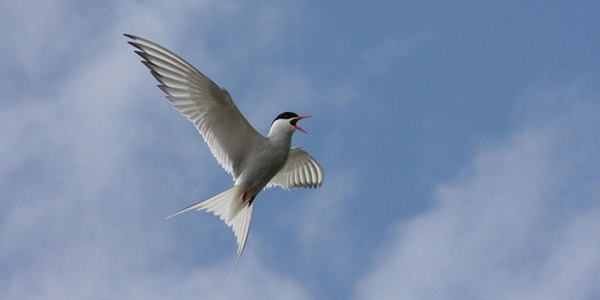 Arctic tern come to the Isle of May to breed