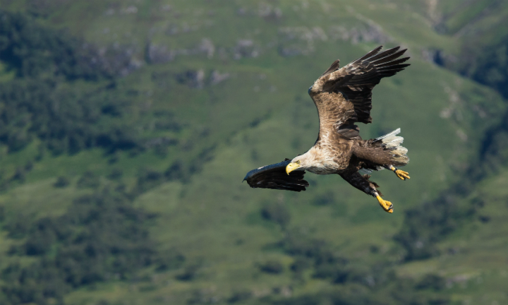 White-Tailed Sea Eagle. ©Lensman300 / Dollar Photo Club