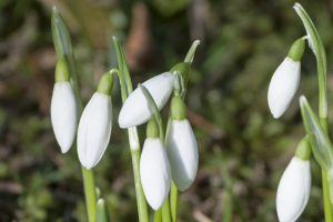 A close-up of some budding snowdrops.