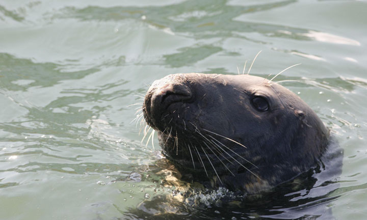 A close-up of a seal poking its head out of the water.