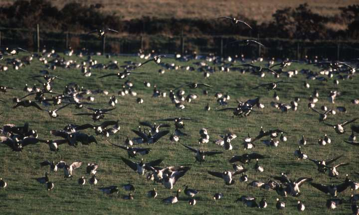 Looking over to barnacle geese at the Caerlaverock National Nature Reserve, Dumfries & Galloway