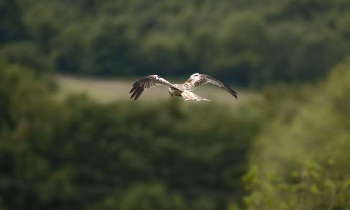 A red kite at Bellymack Hill Farm Red Kite Feeding Station, Laurieston, near Castle Douglas, Dumfries & Galloway